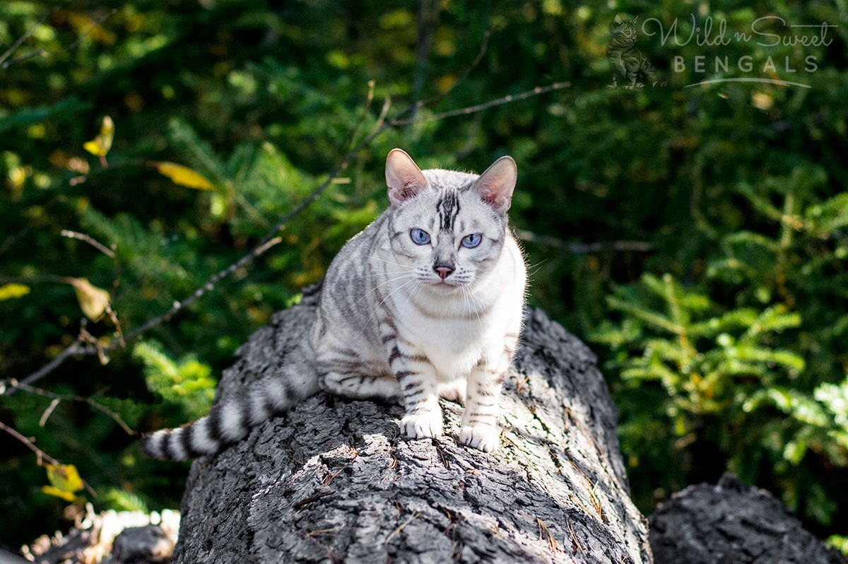 Snow White Bengal Cats For Sale Wild Sweet Bengals